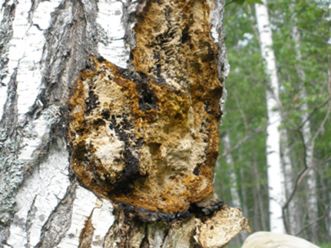 harvest chaga mushrooms